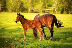 Mother horse with her foal grazing on a spring green pasture against a background of green forest in the setting sun Stock Photography