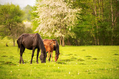 Mother horse with her foal grazing on a spring green pasture against a background of green forest in the setting sun. A horse with his foal grazes on a spring Stock Images