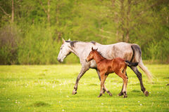 Mother horse with her foal grazing on a spring green pasture against a background of green forest in the setting sun. A horse with his foal grazes on a spring Royalty Free Stock Photography