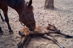 Mother horse and her newborn foal. Royalty Free Stock Images