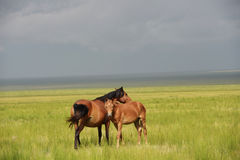 A mother horse and pony. A mother horse and her pony stand on prairie before a strom stock photos