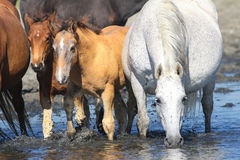 Mother horse and two foals on the watering place. White Mother horse and two brown foals on the watering place stock image
