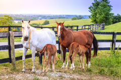Mother horses with colts Royalty Free Stock Image