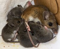 A mother house mouse and her brood. royalty free stock photos