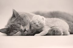Mother hugs her kitten. Mother cat carrying her kitten in her mouth, indoor portrait royalty free stock images