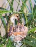 Mother Hummingbird Feeding her young Royalty Free Stock Photos