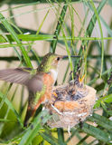 Mother Hummingbird Feeding her young Stock Photo