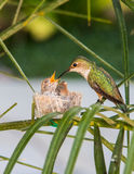 Mother Hummingbird Feeding her young Royalty Free Stock Image