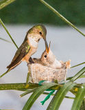 Mother Hummingbird Feeding her young Royalty Free Stock Photography
