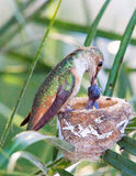 Mother Hummingbird Feeding her young Royalty Free Stock Photo