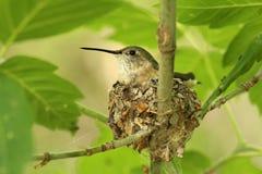 Mother Hummingbird on her nest. Mother hummingbird sitting on her nest in tree stock image