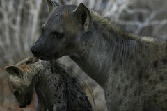A Mother Hyena Carrying Her Cub Stock Images