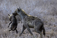 A Mother Hyena Carrying Her Cub Royalty Free Stock Photo