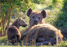 Mother Hyena and her young Pup Stock Images