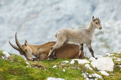 Mother ibex and young ibex resting Stock Images