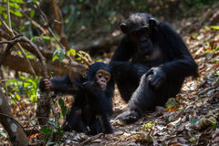 Mother and infant chimpanzee in natural habitat. Female Eastern chimpanzee with her young infant in natural habitat Royalty Free Stock Photos