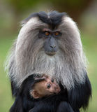 Mother and infant macaque. Lion tailed macaque mother and infant Stock Photos