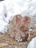Mother Japanese macaque `snow monkey` cuddling her baby in the cold stock image