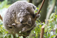 Mother and joey koala cuddling Stock Photography