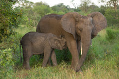 Mother with juvenile elephant Royalty Free Stock Photography