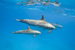 Mother and juvenile Spinner dolphins in the wild. Mother and juvenile Spinner dolphins (Stenella longirostris) in the wild. Sataya, Southern Red Sea, Egypt Royalty Free Stock Images