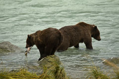 Mother and juvenille Alaskan Brown Bears in river, one with fresh caught salmon Royalty Free Stock Photo