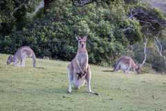 Mother kangaroo with a baby in pouch looking ahead on green grass. A other kangaroo with a baby in her pouch looking ahead on green grass with two other Stock Image