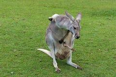 Mother Kangaroo carrying her joey in her pouch. In Brisbane, Queensland, Australia Stock Images
