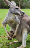 Mother Kangaroo carrying her joey in her pouch. In Brisbane, Queensland, Australia Royalty Free Stock Photos