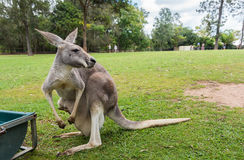 Mother Kangaroo carrying her joey in her pouch. In Brisbane, Queensland, Australia Royalty Free Stock Photo