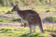 Mother kangaroo with joey. In the Australian bushland Stock Image