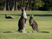 Mother kangaroo and joey, alert. Royalty Free Stock Photos