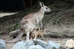 Mother kangaroo with joey. A small joey in Australia ventures out of his mother`s pouch but doesn`t go too far away Stock Photos