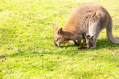 Kangaroo with newborn in pouch on grass eating royalty free stock images