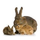 mother kanin arkivfoto