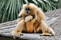 Mother and kid, Hoolock gibbon. Hoolock gibbon, with beautiful and featured face, is taking care her kid Stock Image