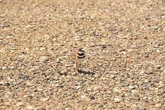 Mother Killdeer bird trying to distract me away from her nest. Mother Killdeer bird trying to distract me from her hatching eggs and nest Stock Photos