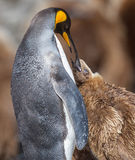 Mother King Penguin feeding young Stock Images