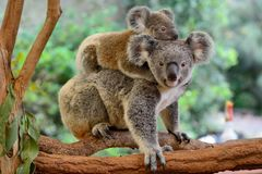 Mother koala with baby on her back. On eucalyptus tree royalty free stock image