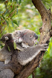Mother koala with baby stock photography