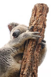 Mother koala isolated on white Stock Photo