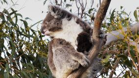 Mother koala and joey stock video