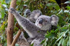 A mother koala with a joey at her feet royalty free stock images