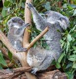 Mother koala and two joeys stock photo