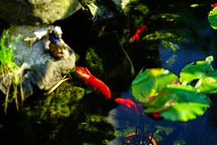 Koi Fishes in a Modern Fish Pond royalty free stock images