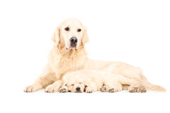 A mother labrador retreiver with her baby dog Royalty Free Stock Images