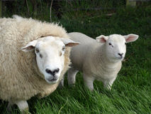 Mother and Lamb Royalty Free Stock Images