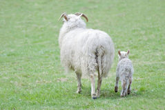 Mother and lamb sheep. Big horned mother sheep and lamb walking on meadow Royalty Free Stock Photo