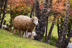 Mother and Lamb sheep walking Stock Images