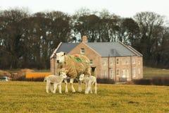 Mother and lambs in lawn. Mother and lambs in lawn at animal farm Stock Photo